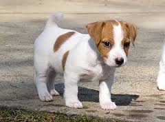 Jack Russell terrier 2 - copia