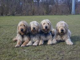 Otterhound 2