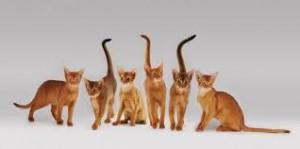 gato abisino 3