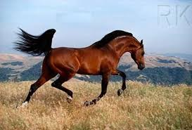 caballo arabe 3