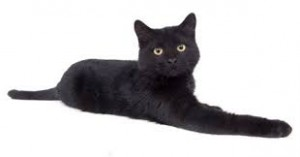 gato bombay 2