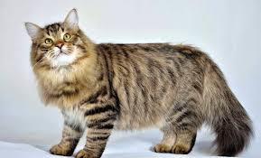 gato siberiano 2