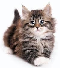 gato siberiano 3