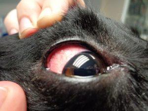 ojos rojos en perros 2