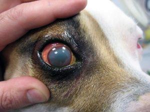 ojos rojos en perros