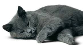 gato Cartujo 2