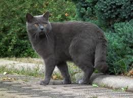 gato Cartujo 3