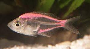 indian-glassy-fish