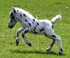 caballo-falabella