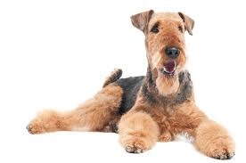 airedale-terrier