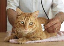 Cuidados De Gato