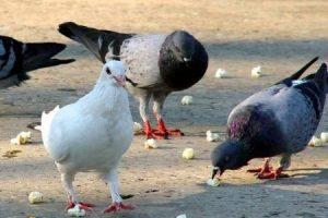 Que comen las palomas