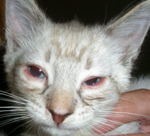 ojos rojos en los gatos1
