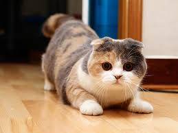 gato scottish fold1