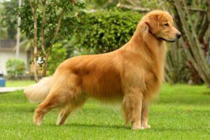 Perros cariñosos y grandes